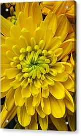 Yellow Mum Acrylic Print by Garry Gay