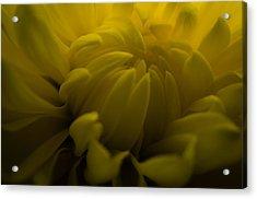 Yellow Mum Acrylic Print