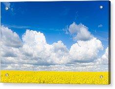 Yellow Mustard Fields Under A Deep Blue Sky Acrylic Print