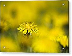 Yellow On Yellow Dandelion Acrylic Print by Christina Rollo