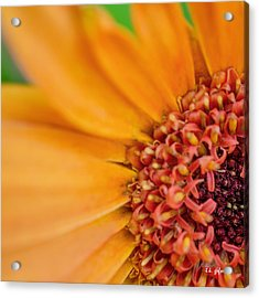 Acrylic Print featuring the photograph Yellow Orange Gerbera Squared by TK Goforth