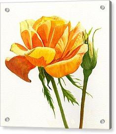 Yellow Orange Rose With Bud On White Acrylic Print