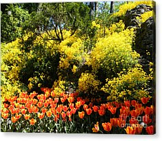 Yellow Orange - Springtime Acrylic Print by Phil Banks