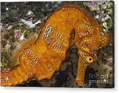 Yellow Pacific Seahorse Acrylic Print by Sami Sarkis