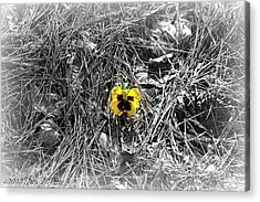 Acrylic Print featuring the photograph Yellow Pansy by Tara Potts
