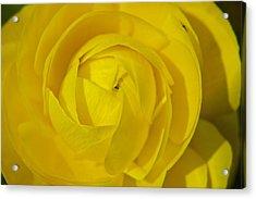 Yellow Peony Acrylic Print by Sharin Gabl