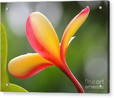 Acrylic Print featuring the photograph Yellow Pink Plumeria by Kristine Merc