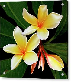 Acrylic Print featuring the photograph Yellow Plumeria by Ben and Raisa Gertsberg