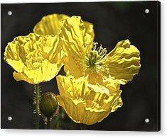 Yellow Poppies Acrylic Print