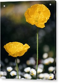 Yellow Poppies Acrylic Print by Robert Lozen