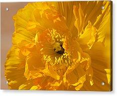 Yellow Poppy Acrylic Print by Bonita Hensley