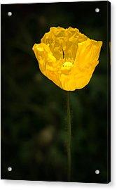 Yellow Poppy Acrylic Print by  Onyonet  Photo Studios