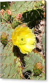 Yellow Prickly Acrylic Print by Dick Botkin