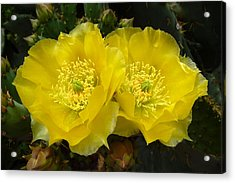 Acrylic Print featuring the photograph Yellow Prickly Pear Twins by Cindy McDaniel