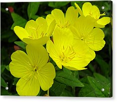 Yellow Primrose Acrylic Print by Gene Cyr
