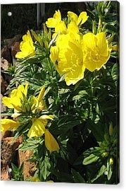 Yellow Primroses Acrylic Print
