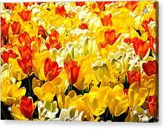 Yellow Red And White Tulips Acrylic Print by Menachem Ganon
