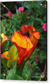 Acrylic Print featuring the photograph Yellow Red Calla Lily by Eva Kaufman
