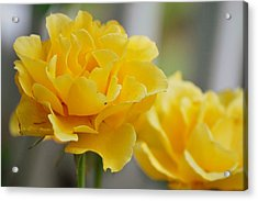 Acrylic Print featuring the photograph Yellow Rose by Amee Cave