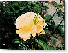 Yellow Rose And Bud Acrylic Print by Christopher Bage