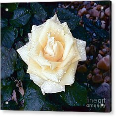 Acrylic Print featuring the photograph Yellow Rose At Dawn by Alys Caviness-Gober