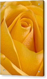 Yellow Rose Acrylic Print by Bob Noble Photography