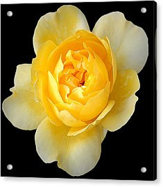 Yellow Rose Acrylic Print by CarolLMiller Photography