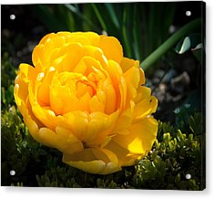 Acrylic Print featuring the photograph Yellow Rose by Dee Dee  Whittle