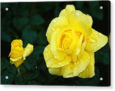 Yellow Rose Flowers Blooming, Close Up Acrylic Print