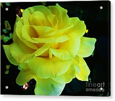Yellow Rose Acrylic Print by Heather L Wright