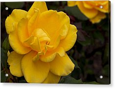 Yellow Rose Acrylic Print by Ivete Basso Photography