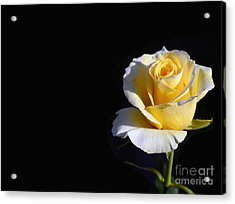 Yellow Rose On Black Acrylic Print