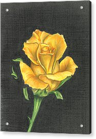 Acrylic Print featuring the drawing Yellow Rose by Troy Levesque