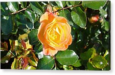 Yellow Rose Acrylic Print by Van Ness