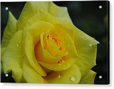 Yellow Roses Acrylic Print by Robert  Moss