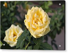 Yellow Roses Acrylic Print by Valerie Broesch
