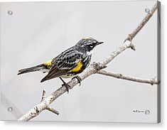 Yellow-rumped Warbler 3 Acrylic Print by Jeff Swanson
