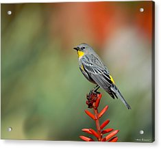 Acrylic Print featuring the photograph Yellow-rumped Warbler by Avian Resources