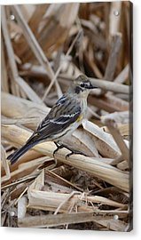 Acrylic Print featuring the photograph Yellow-rumped Warbler by Debra Martz