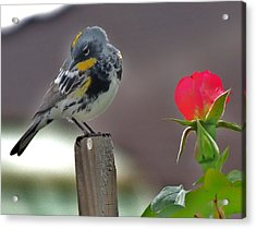 Yellow Rumped Warbler Acrylic Print by Helen Carson