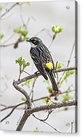 Yellow-rumped Warbler Acrylic Print by Jeff Swanson