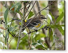 Acrylic Print featuring the photograph Yellow-rumped Warbler by Jennifer Zelik
