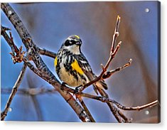 Yellow-rumped Warbler Acrylic Print by Larry Trupp