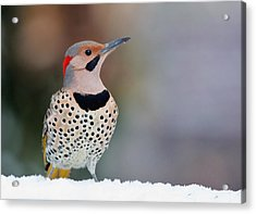 Yellow Shafted Flicker In Snow Acrylic Print