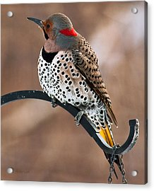 Acrylic Print featuring the photograph Yellow-shafted Northern Flicker by Edward Peterson