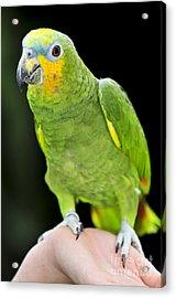 Yellow-shouldered Amazon Parrot Acrylic Print by Elena Elisseeva
