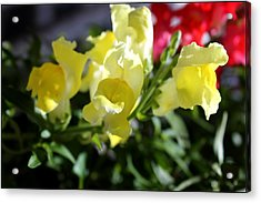 Yellow Snapdragons II Acrylic Print by Aya Murrells