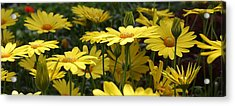 Yellow Splendor Acrylic Print by Bruce Bley