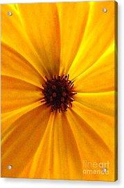 Yellow Splendour Acrylic Print by Clare Bevan