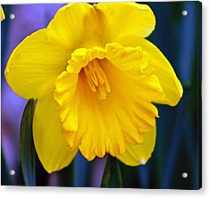 Acrylic Print featuring the photograph Yellow Spring Daffodil by Kay Novy